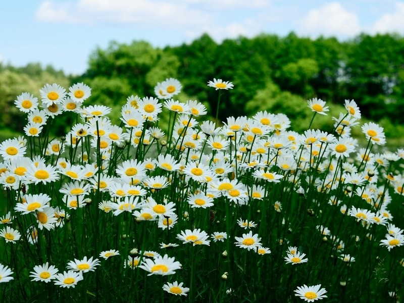 Фото поляны с цветами для рабочего стола