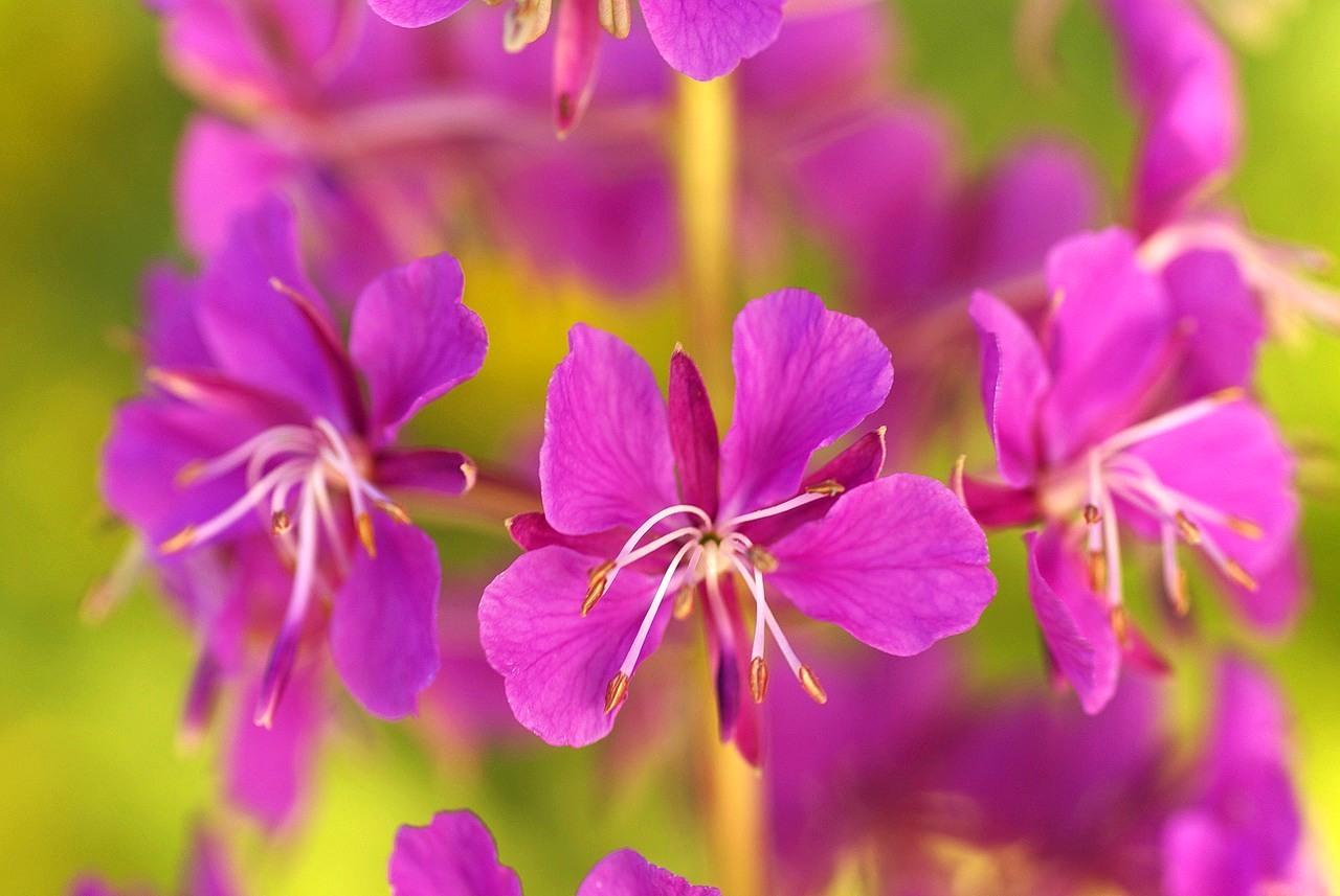 Иван чай цветок комнатный фото