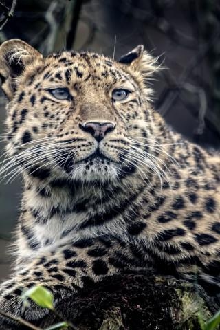 заставка на телефон леопард № 58293 без смс