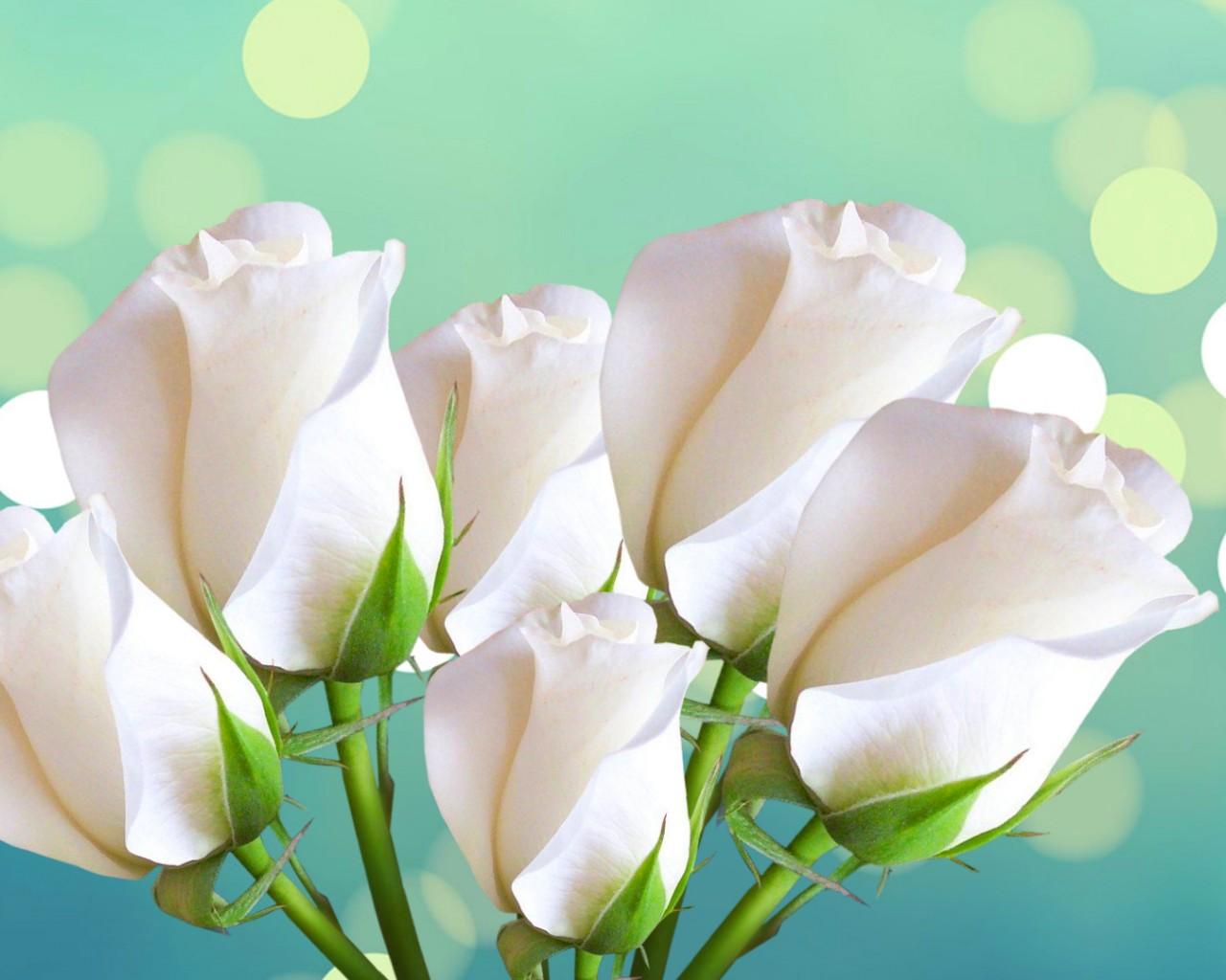На рабочий стол обои белые розы