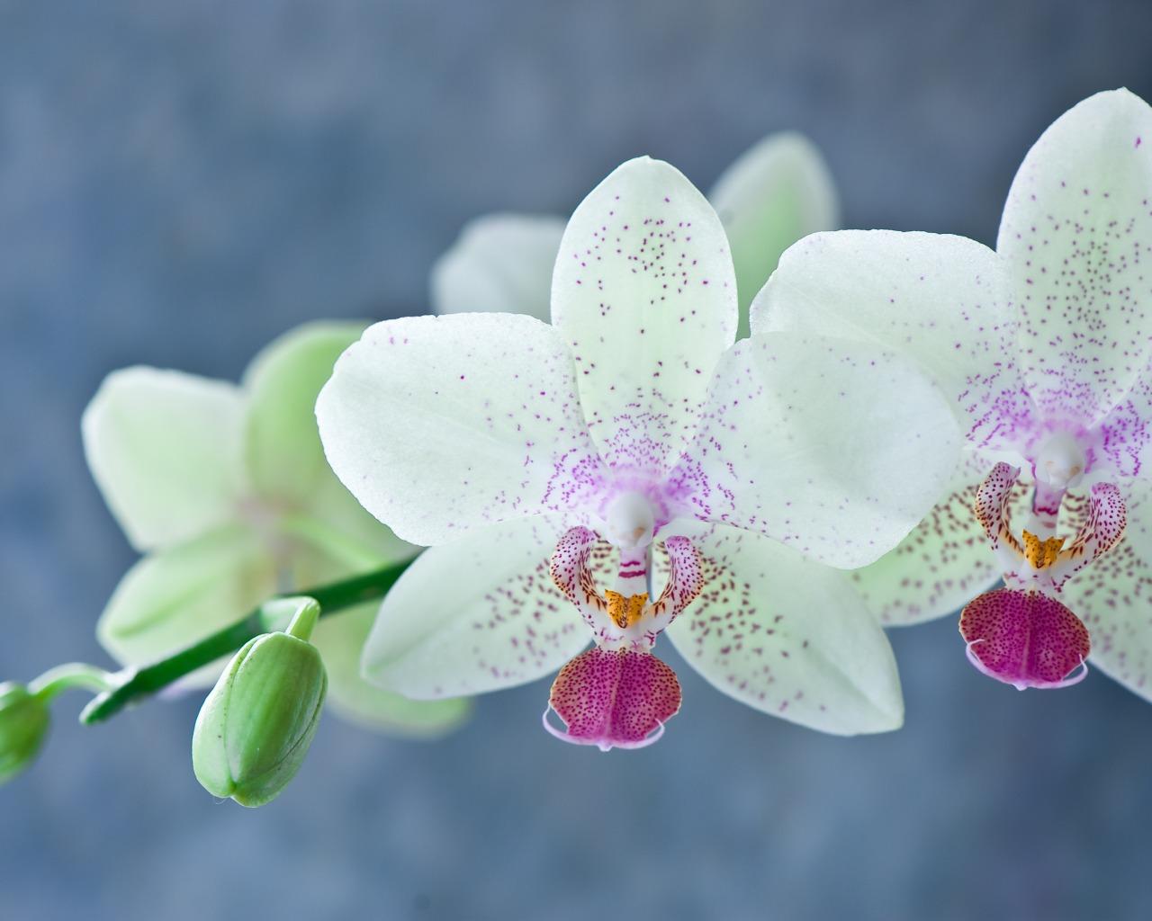 аромат орхидея фаленопсисобои для айфон 5с найти ароматы которые
