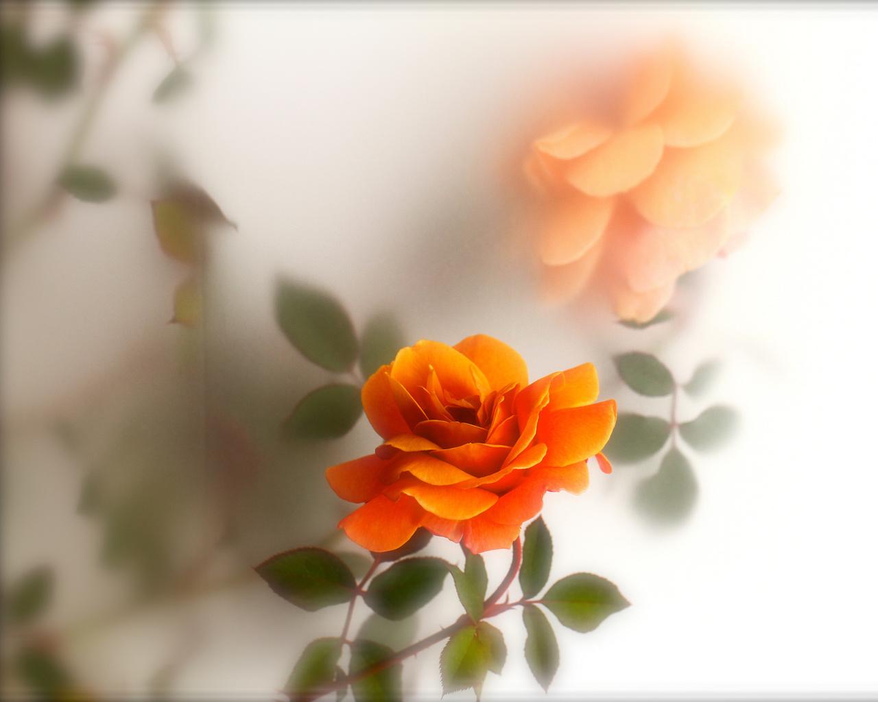 Оранжевая роза обои на рабочий стол