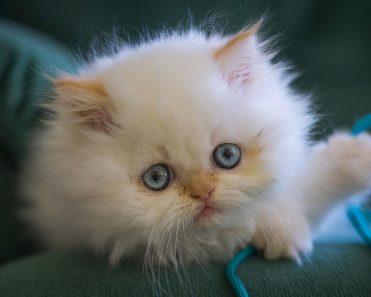 обои кошки для рабочего стола персы № 623738  скачать