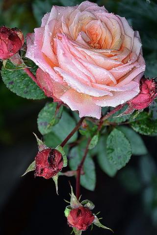 розы анимации красивые на телефон № 6989  скачать