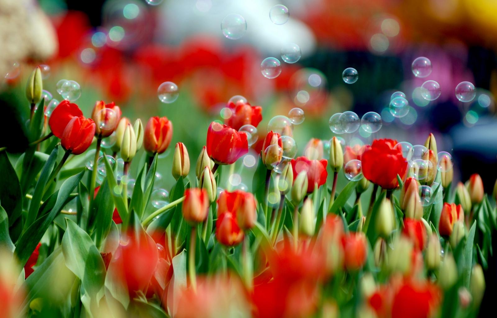 картинки на рабочий стол-тюльпаны