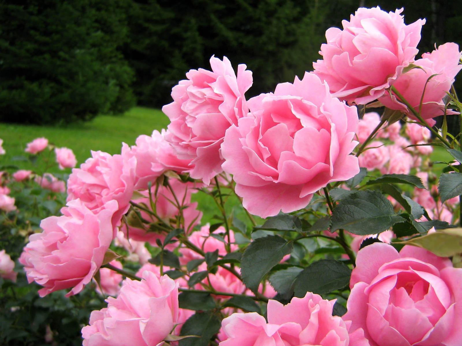 Пионовые розы обои на рабочий стол