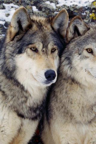 пара фото волков
