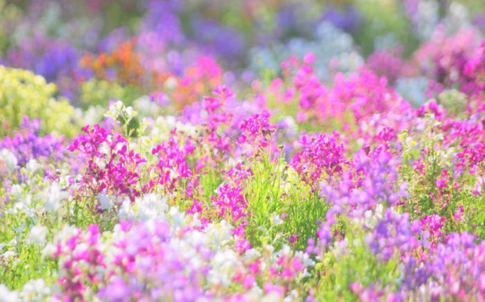 фото поле цветы