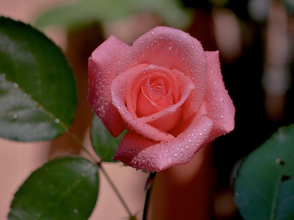 обои розы на рабочий стол 1366х768 № 648441  скачать