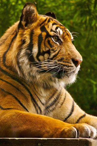 Фото тигра на заставку телефона