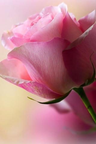 Картинки рабочего стола розы скачать бесплатно