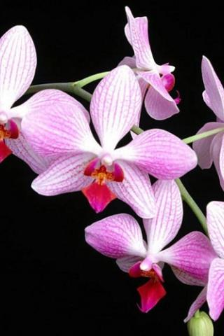 Обои на айфон орхидея