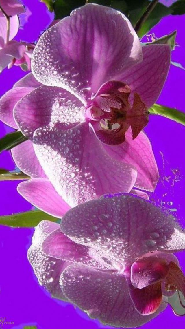 Обои орхидеи на телефон андроид