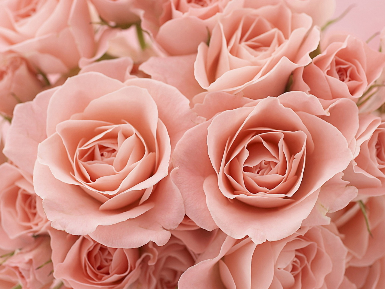 бежевые розы обои на рабочий стол № 51769  скачать