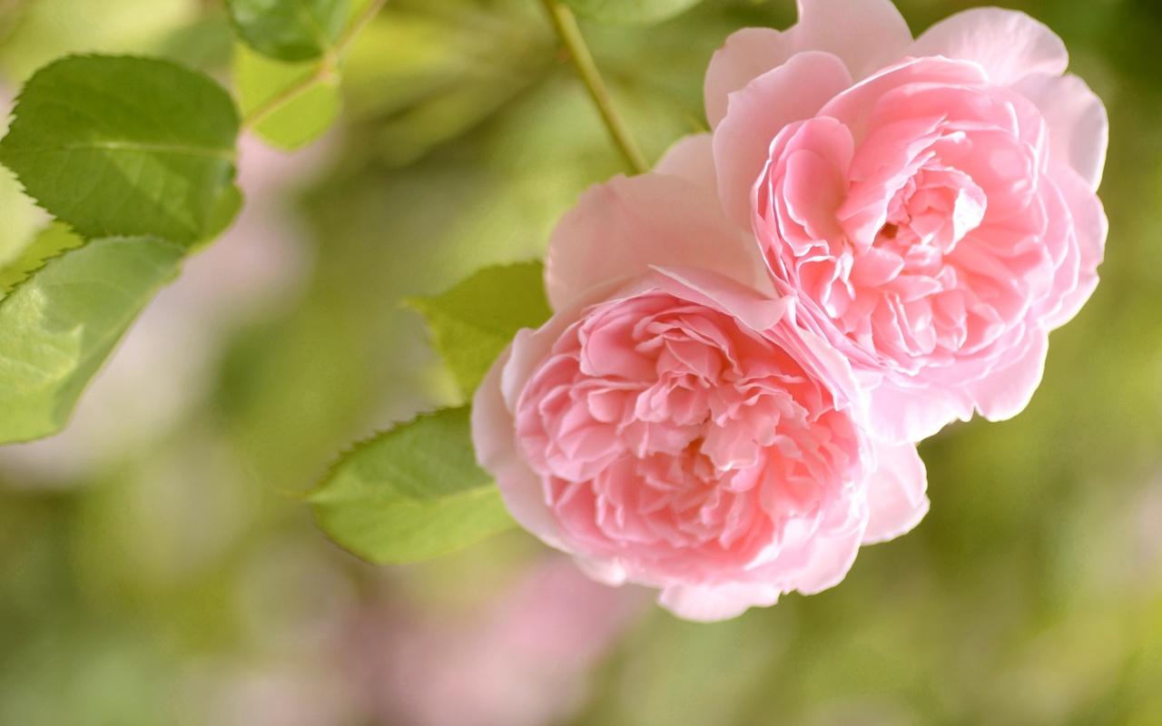 обои для раб стола розовые розы № 583773 загрузить