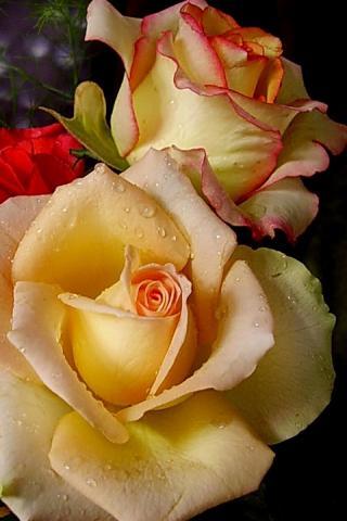 розы анимации красивые на телефон № 6981 загрузить