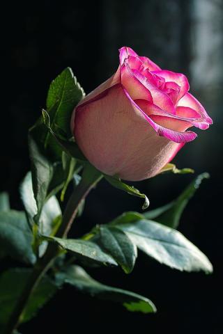 Розы анимации красивые на телефон