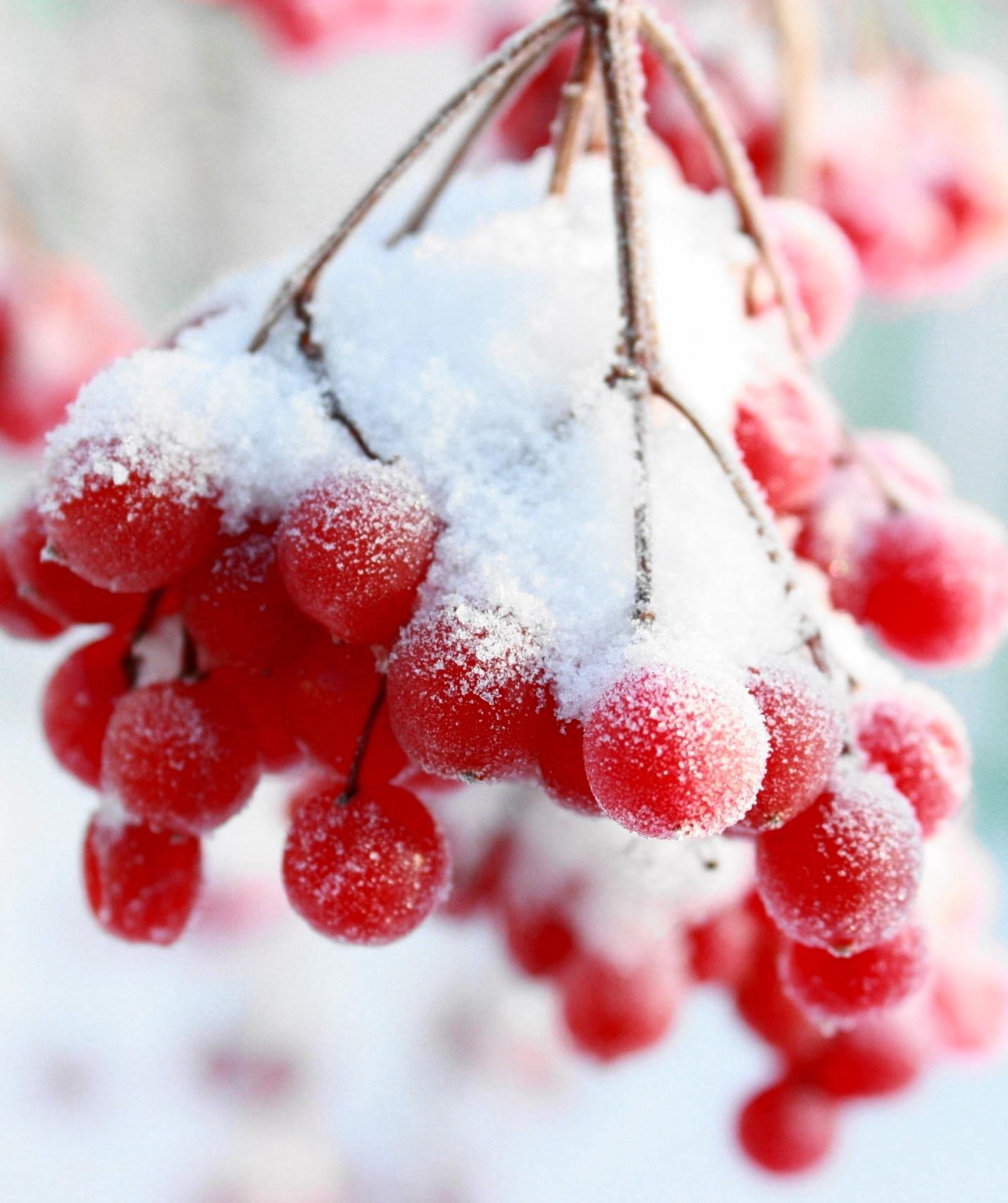 Рябина в снегу фото 553-35