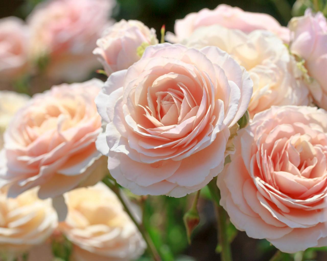 бежевые розы обои на рабочий стол № 51801 без смс