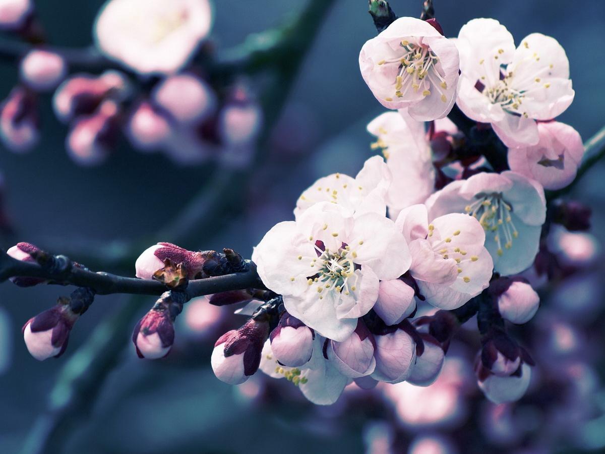Цветение сакуры фото высокого разрешения - King Sport 94