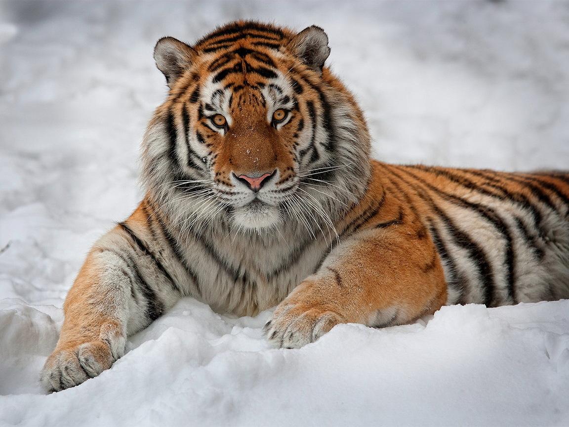 Обои тигры (1 186 обоев).
