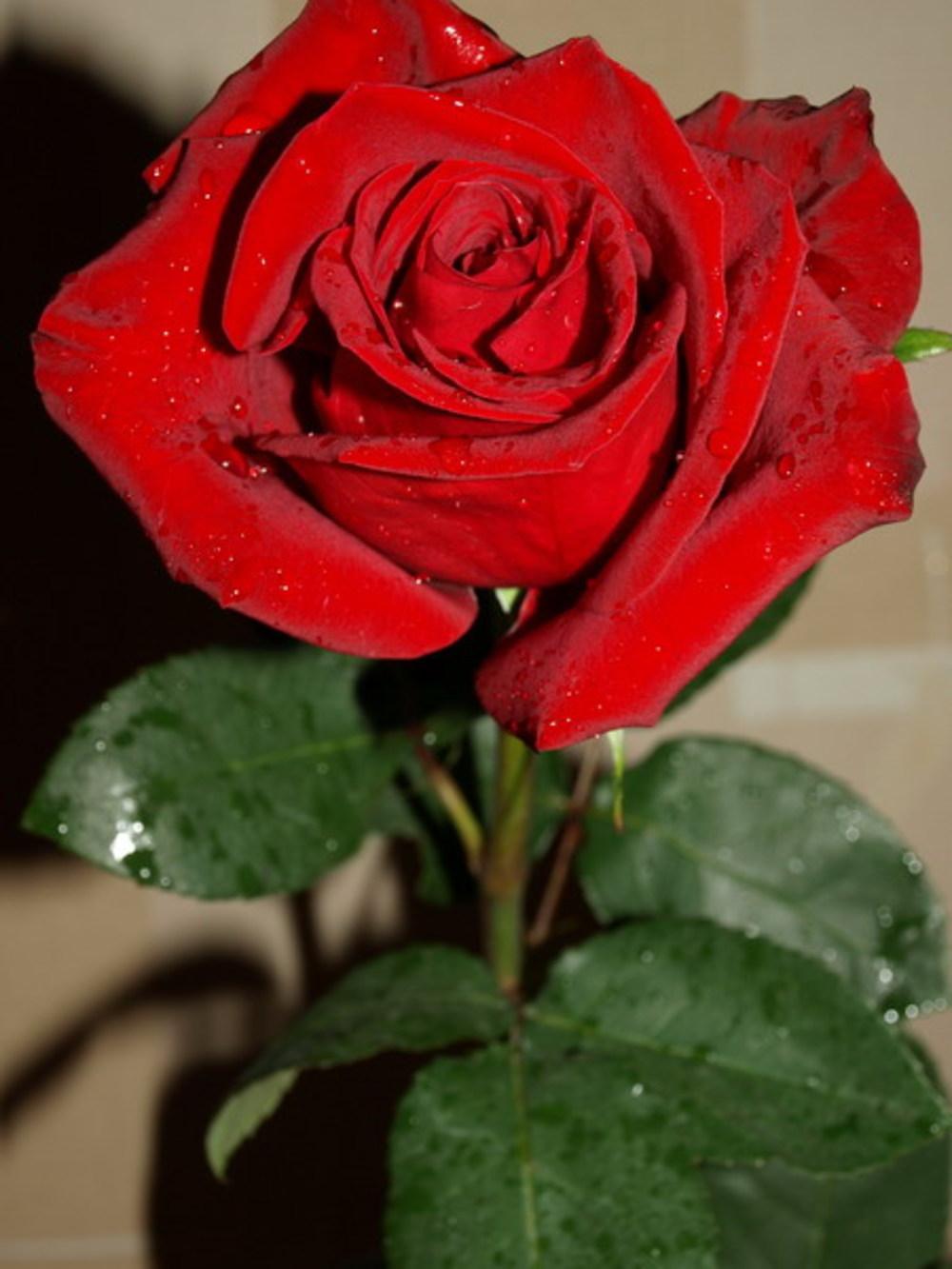 Фото розы цветы самое лучшее