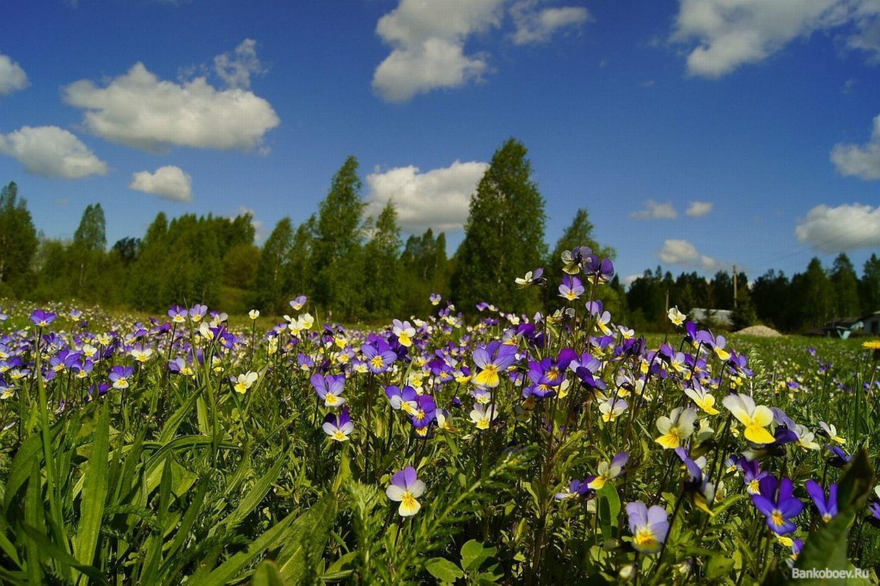 Фото полевых лесных луговых цветов