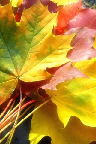 кленовые листья для лечения суставов