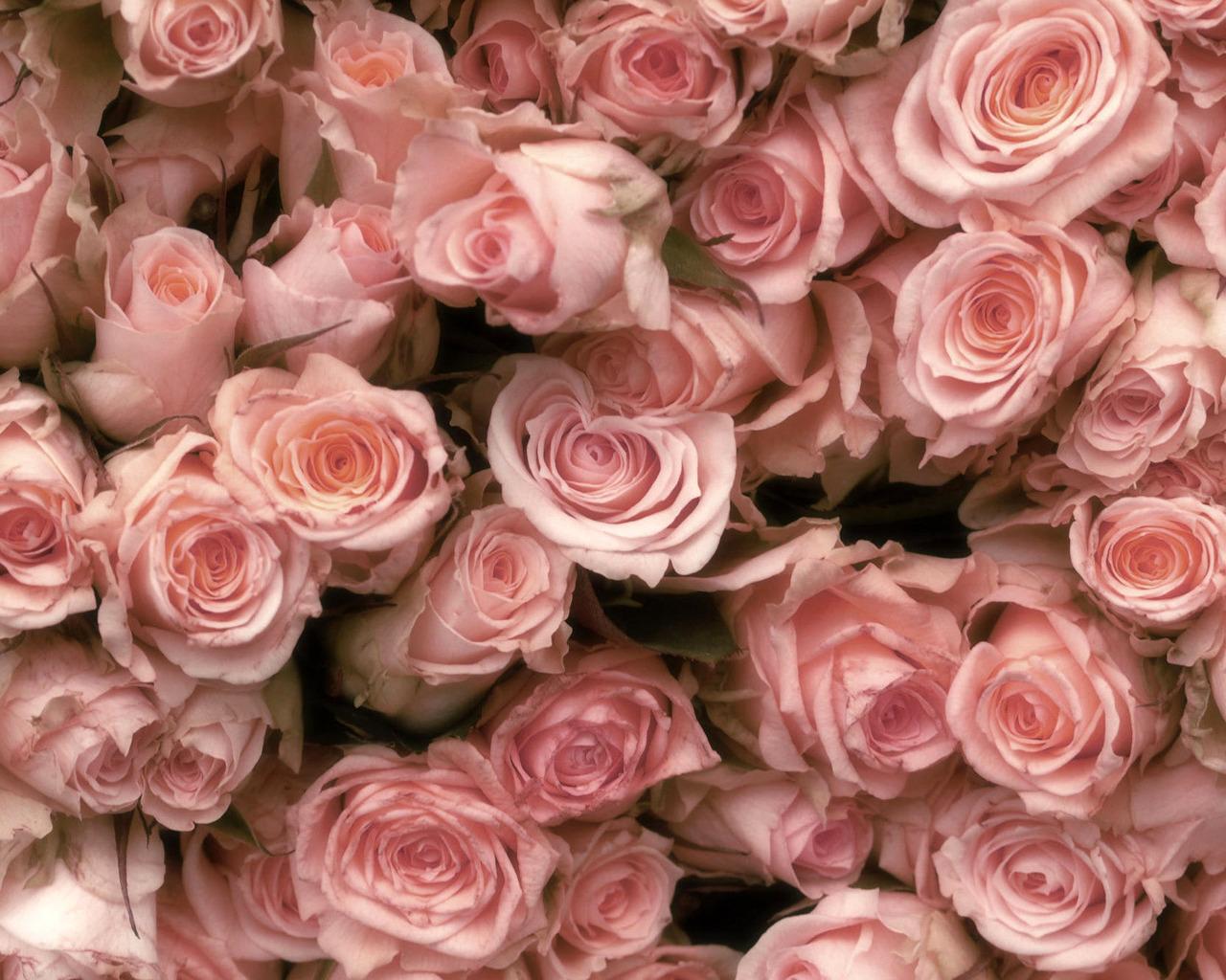 Розовые розы обои на телефон